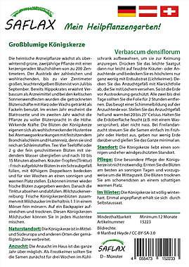 Mein Heilpflanzengarten - Großblumige Königskerze_small01