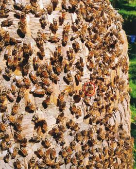 Evolution der Bienenhaltung_small02