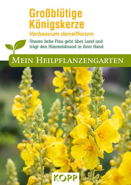 Großblütige Königskerze - Mein Heilpflanzengarten